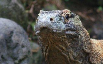 Indonezia032 Komodo sárkánya