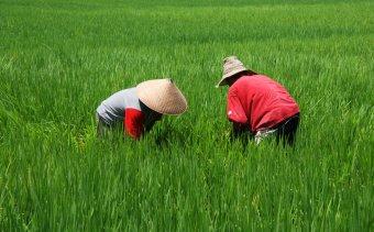 Indonézia077 A mezőgazdaság még ma is sok embert foglalkoztat
