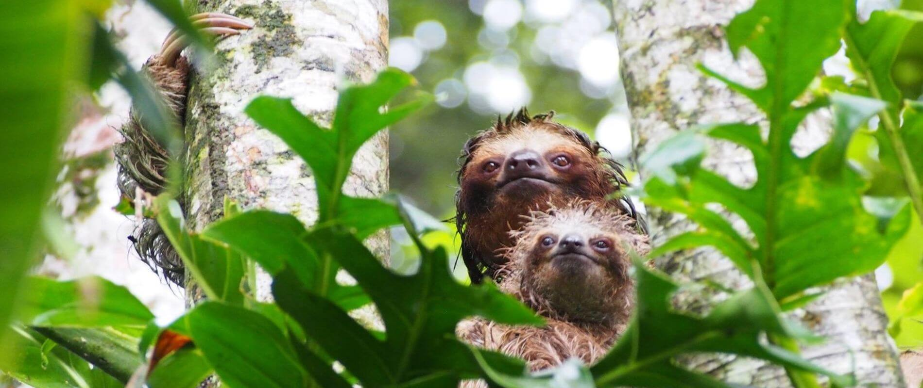 Angkor Tours Costa Rica lajhár