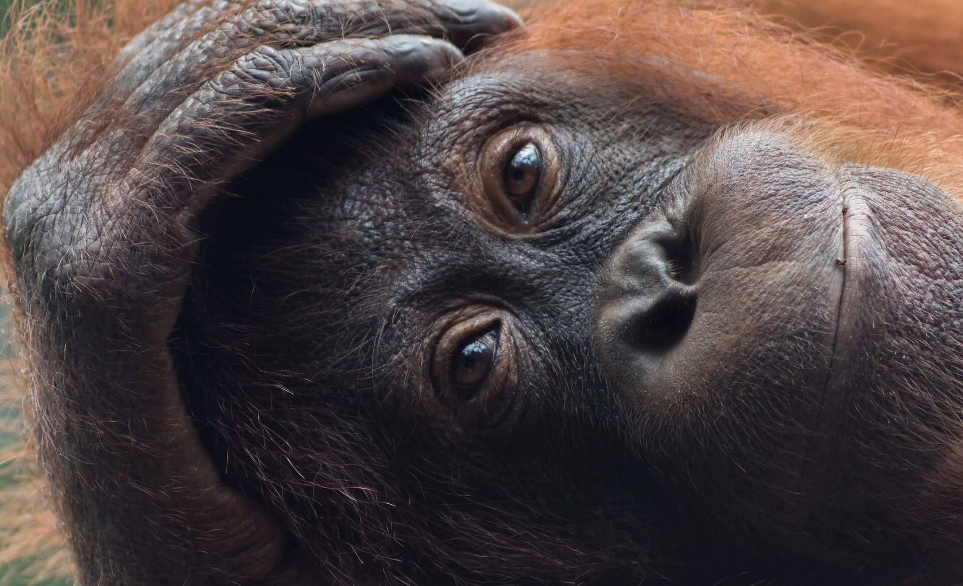 Angkor Tours Malajzia orangután