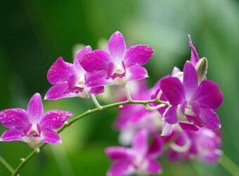 Angkor Tours Szingapúr orchidea