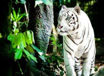 Angkor Tours Szingapúr fehér tigris